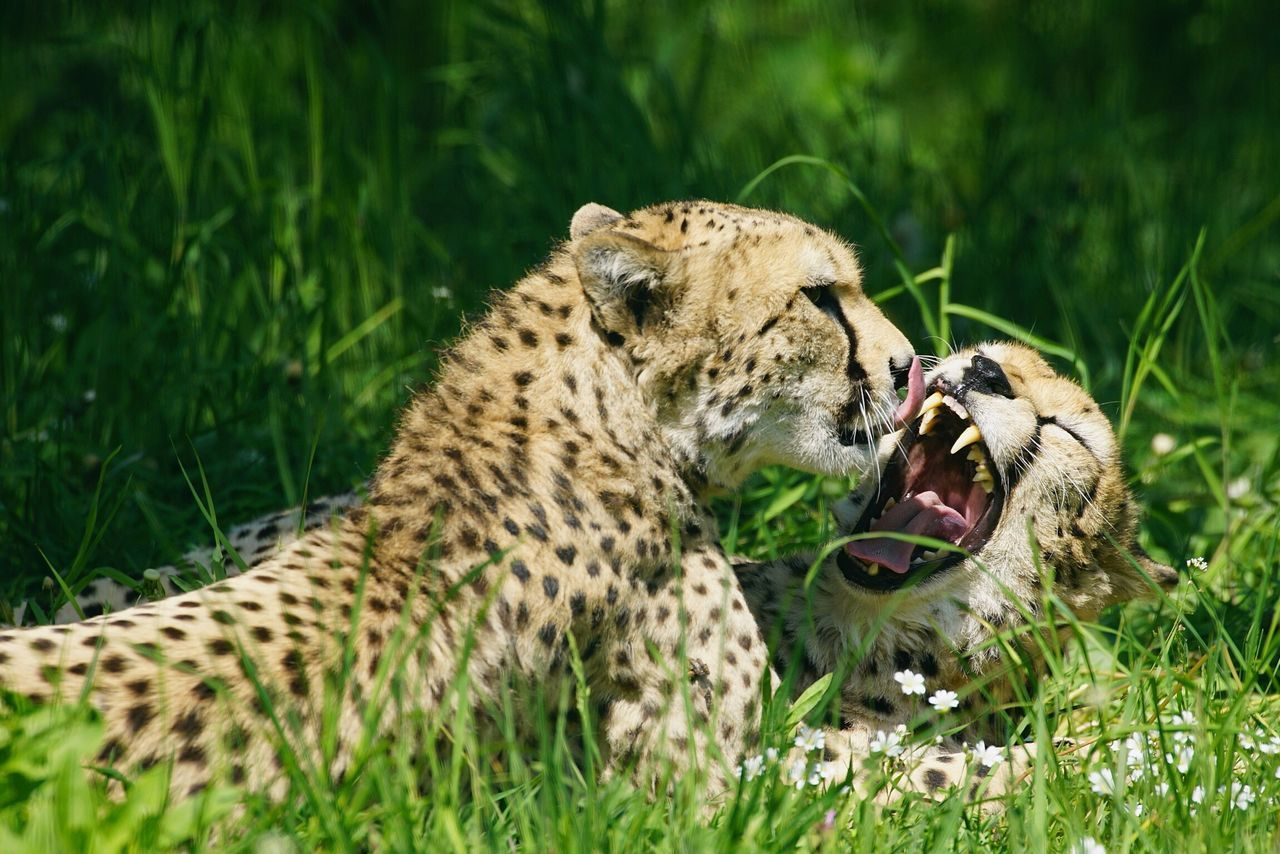 Close- Up Of Leopards Relaxing At Grassy Field