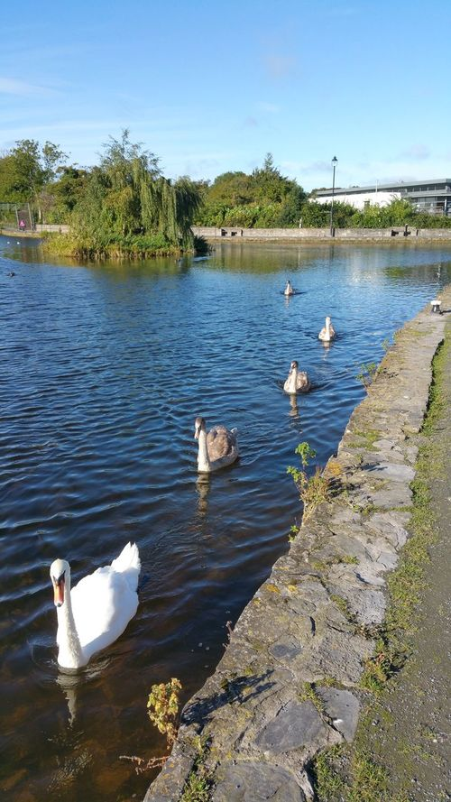 Swans Canal Walks Animal Wildlife Animals In The Wild Swimming
