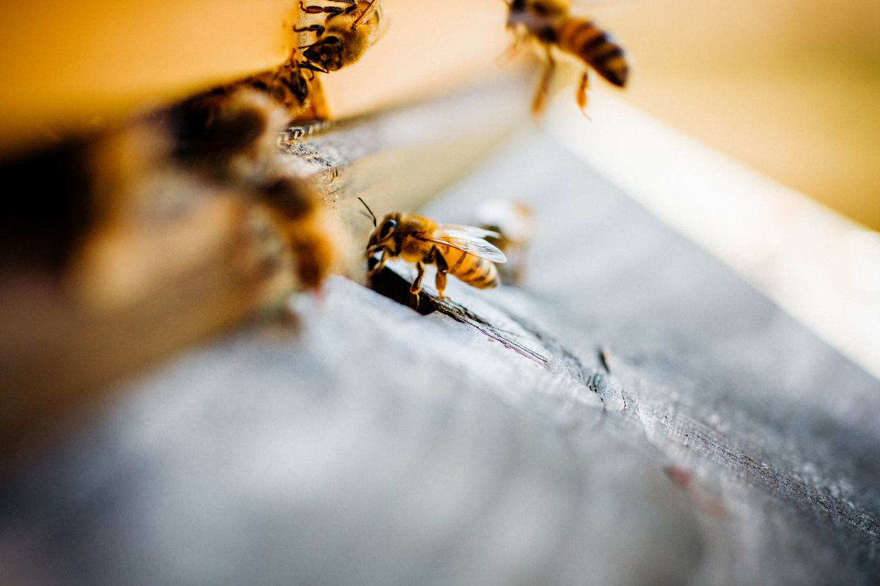 abstract animal bee Bees fragility hive honey bee insect macro Nature no people pollination selective focus symbiotic relationship wildlife