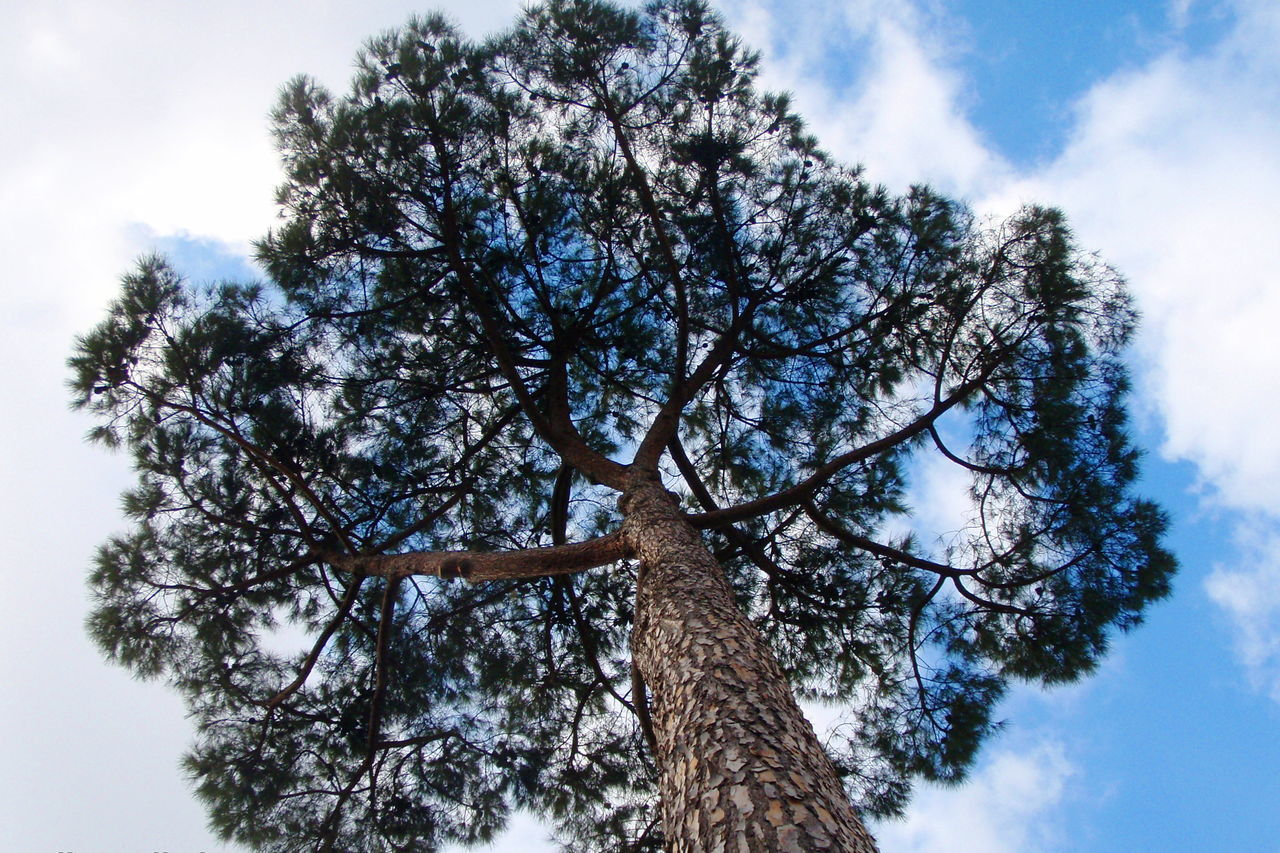 up where we belong Beauty In Nature Branch Cloud Cloud - Sky Cloudy Day Growth Low Angle View Majestic Nature No People Non-urban Scene Outdoors Pico Scenics Sky Solitude Tall Tall - High Tranquil Scene Tranquility Tree Tree Trunk Treetop