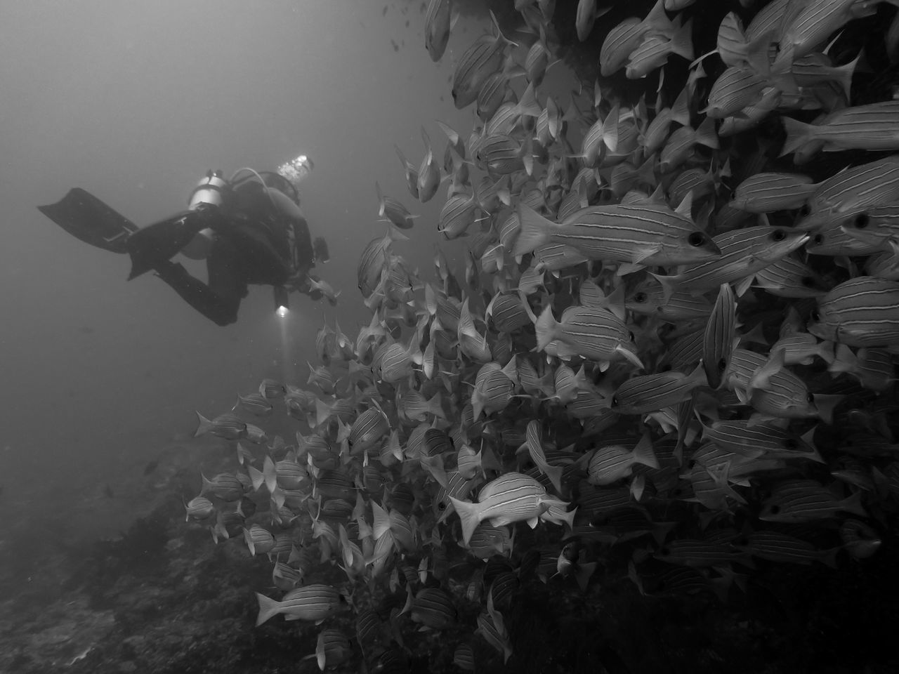 Diver with torch ahead while passing a shoal of snappers. Dive on the Maldives Islands. Animal Themes Black And White Day Diver Nature One Person Outdoors Scuba Diving Sea Life Shoal Of Fish Snappers Torchlight UnderSea Underwater Water
