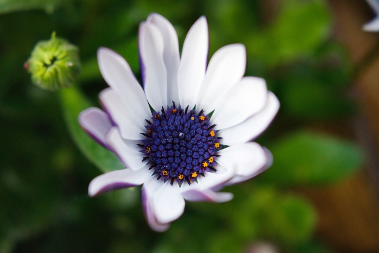 White & purple flower Flower Petal Flower Head Fragility Growth Nature Beauty In Nature Pollen Freshness Blooming Focus On Foreground Day Close-up Plant Outdoors No People Passion Flower Osteospermum Eastern Purple Coneflower Garden Photography Garden Flower Garden Flowers In Bloom