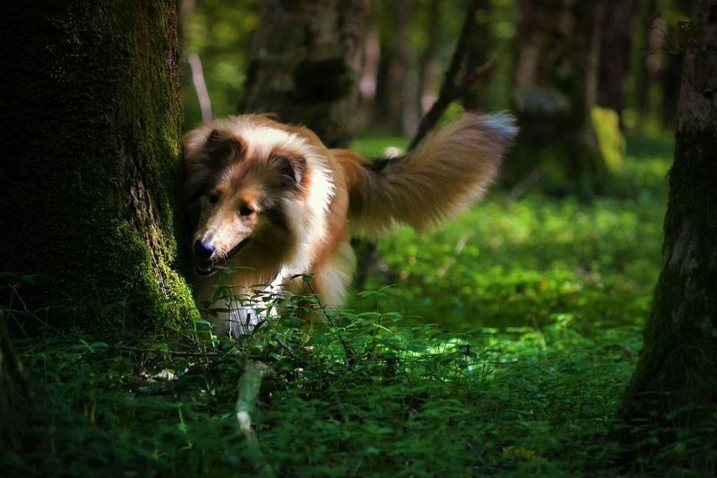 EyeEmNewHere Animal Nature Forest Animal Themes Grass Outdoors Tree Mine Bella RoughCollie Honor7 Honor
