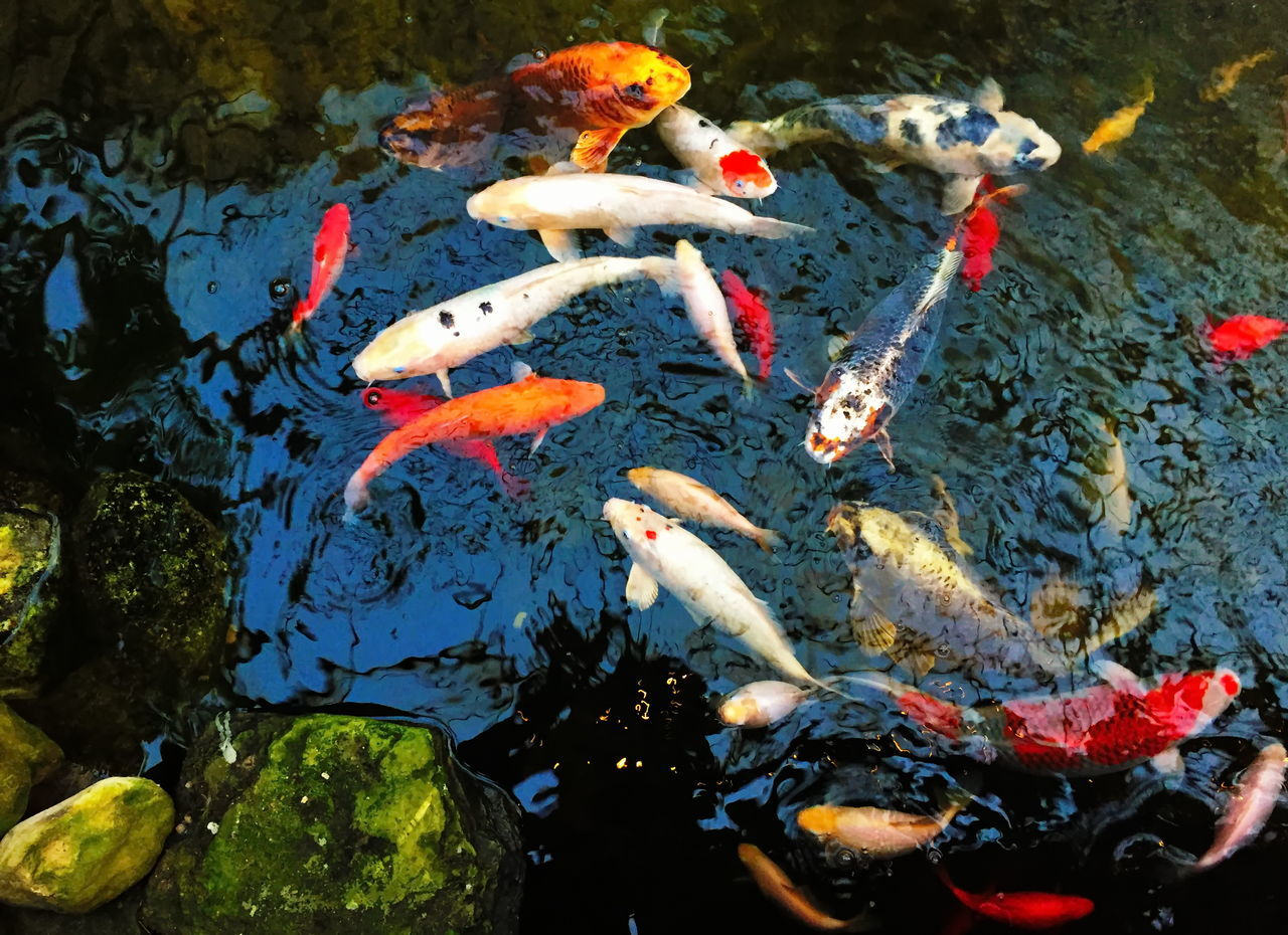 water, koi carp, high angle view, pond, animal themes, animals in the wild, fish, carp, swimming, nature, outdoors, no people, day, waterfront, large group of animals, sea life, close-up