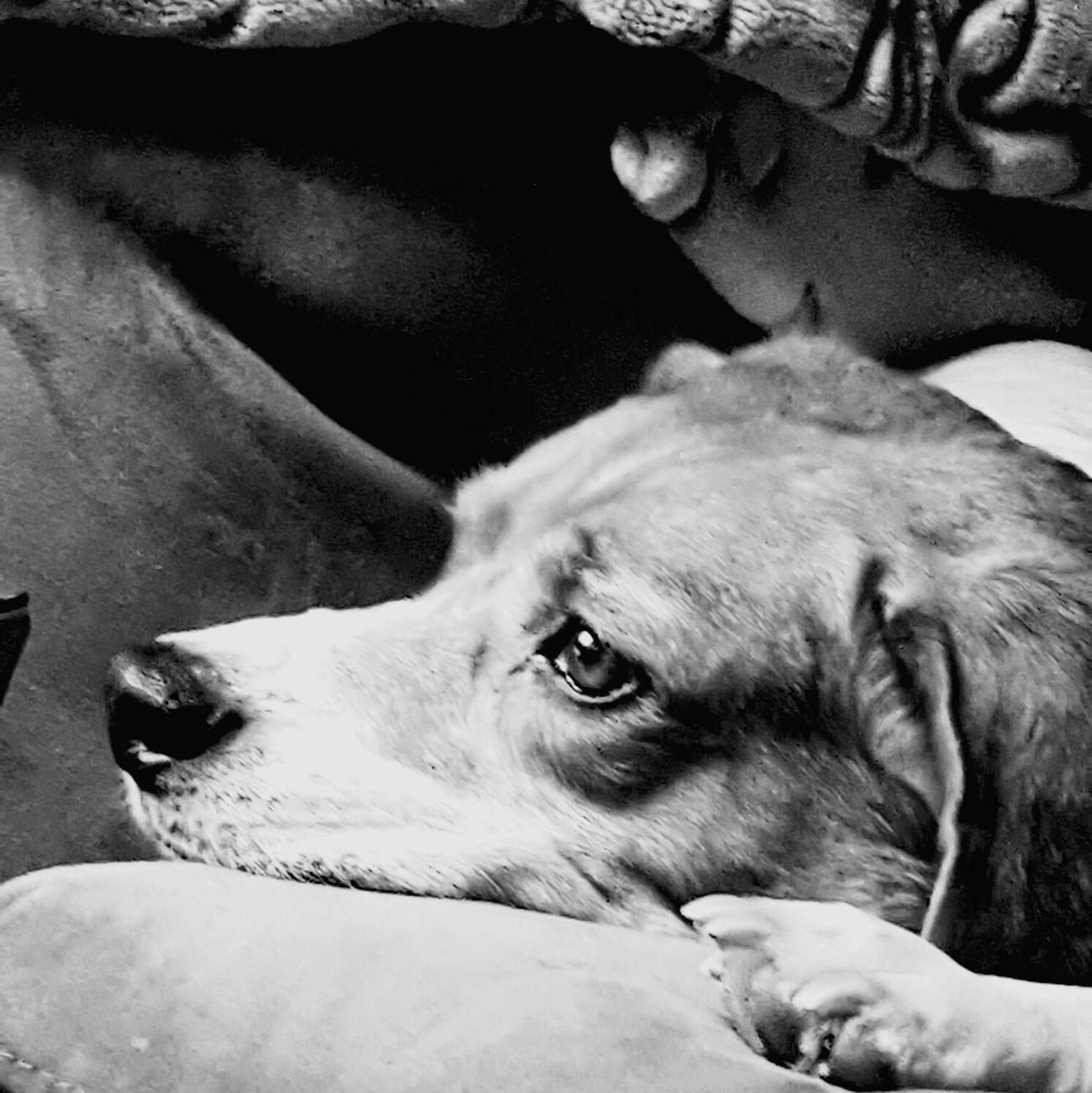 Pets Close-up Mammal Domestic Animals Beagle Beaglelove Lazy Day