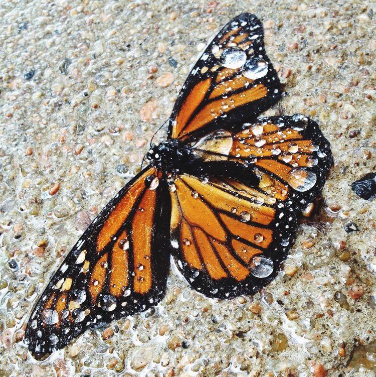 Butterfly Rain Dew Drops Omaha