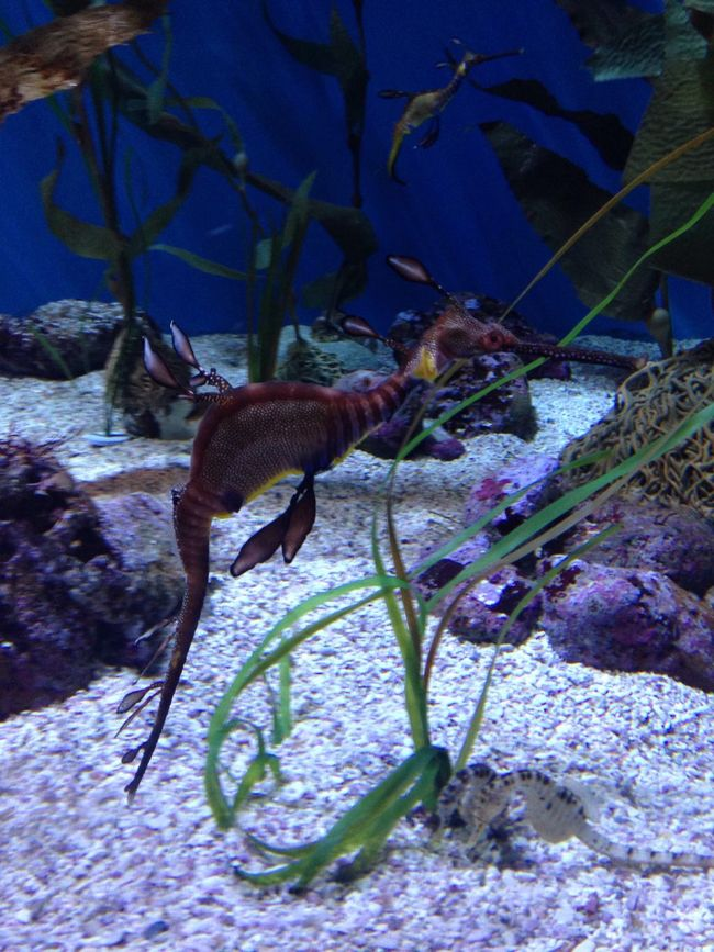 Animal Themes Animals In The Wild Zoology Wildlife Animal Nature Blue No People Seahorse In Aquarium