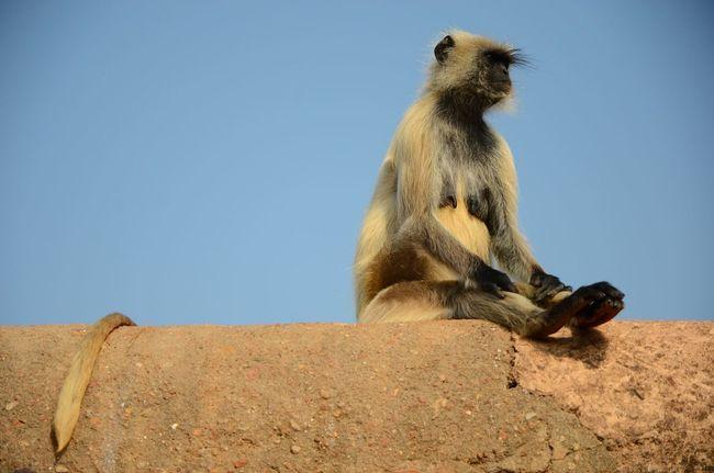 simia entellus Semnopithecus Old World Monkey Langur Hanuman Gray Animals Mammals Posing Sitting Pretty Fort Rajasthan Ranthambore