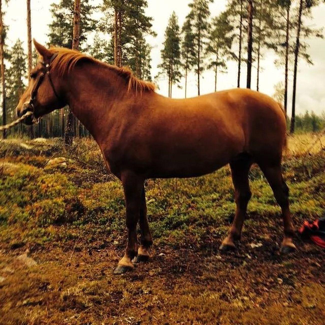 Aliina Suomenhevonen Suomenpienhevonen Finnhäst skog finland hästarfinnsinte