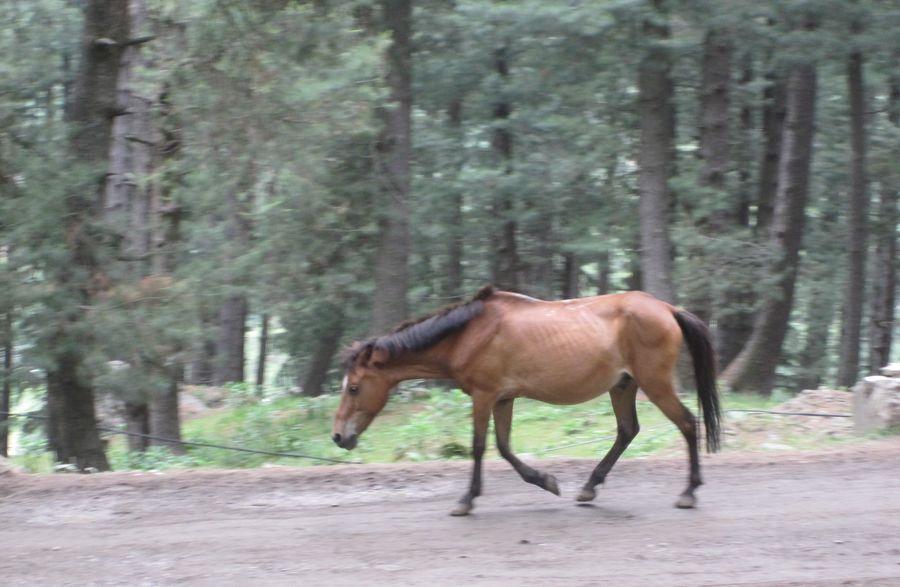 Animal Animal Themes Focus On Foreground Full Length Horse Horse Running Kashmir , India One Animal Side View Vertebrate