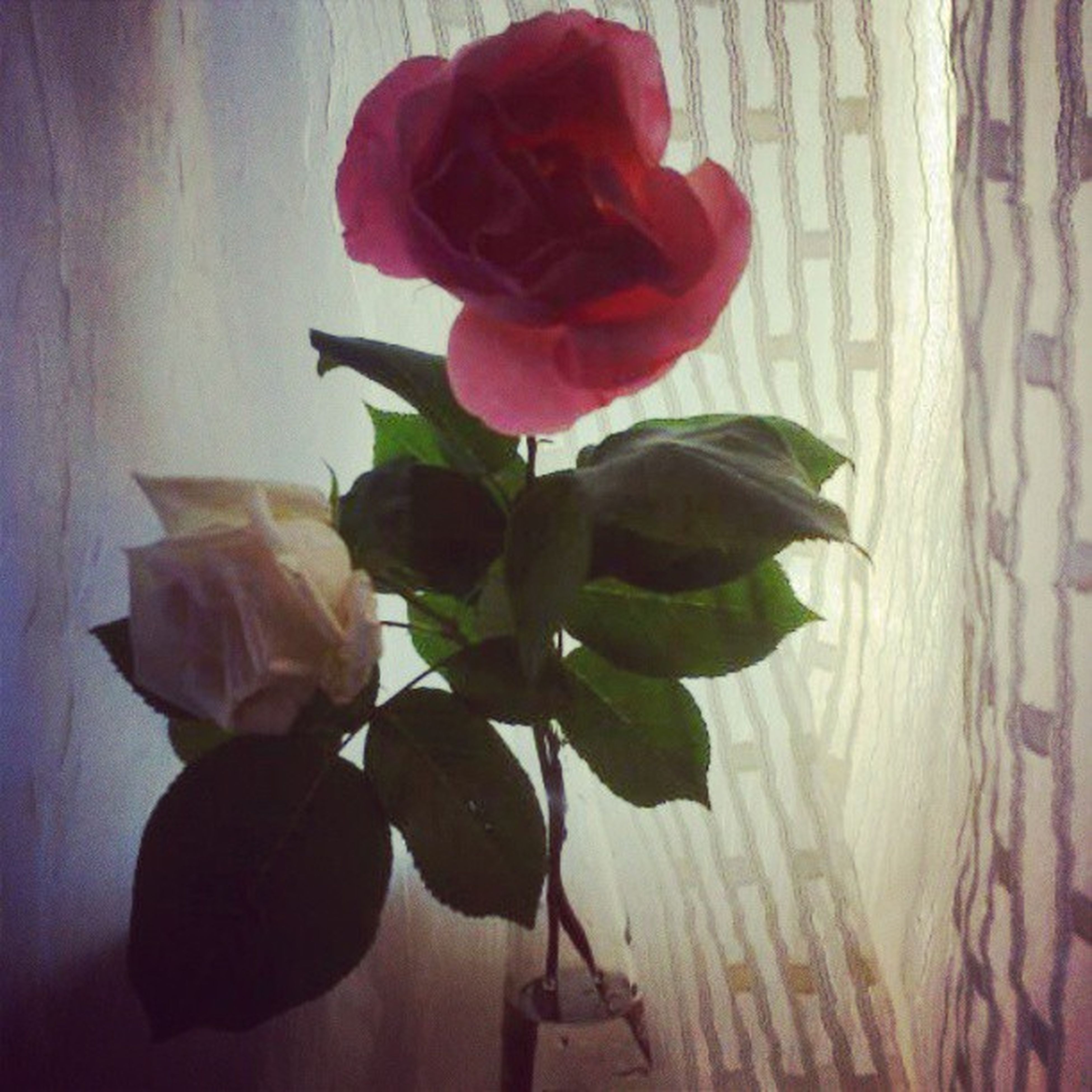flower, petal, freshness, flower head, fragility, rose - flower, indoors, leaf, growth, beauty in nature, red, plant, nature, rose, close-up, stem, single flower, vase, wall - building feature, blooming