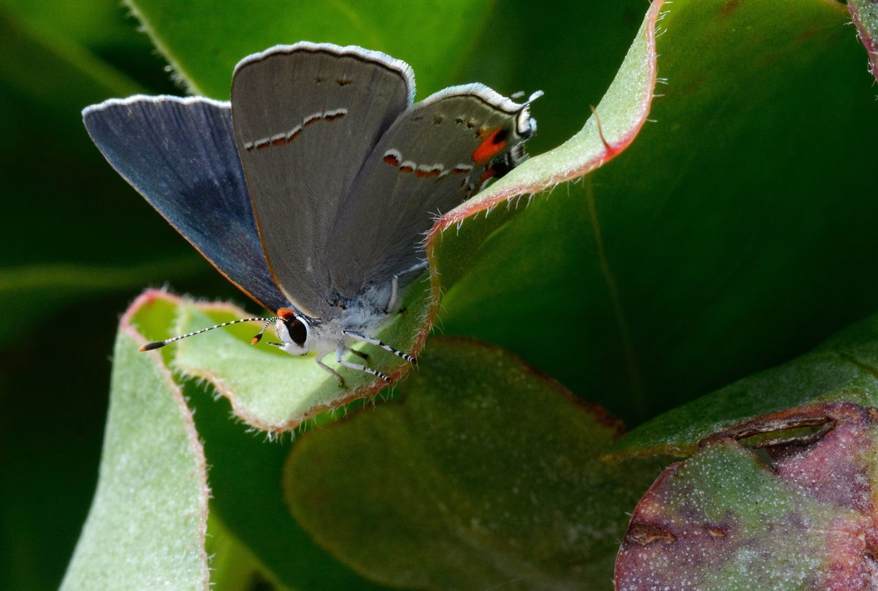 insect, animals in the wild, animal themes, leaf, one animal, animal wildlife, butterfly - insect, wildlife, nature, close-up, green color, no people, day, outdoors, plant, growth, perching, beauty in nature