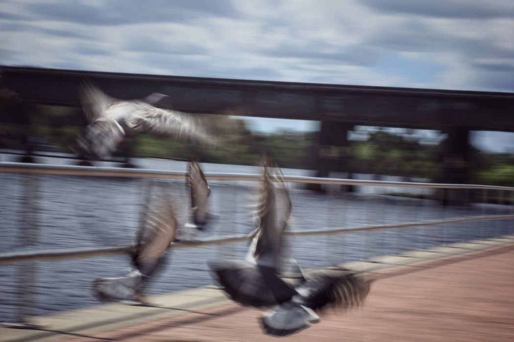 Flight path Blurred Motion Capturing Motion Motion Speed Spread Wings Long Exposure Melbourne Florida Pigeons In Flight Pigeons Mid-air Flying Bird Flying Low