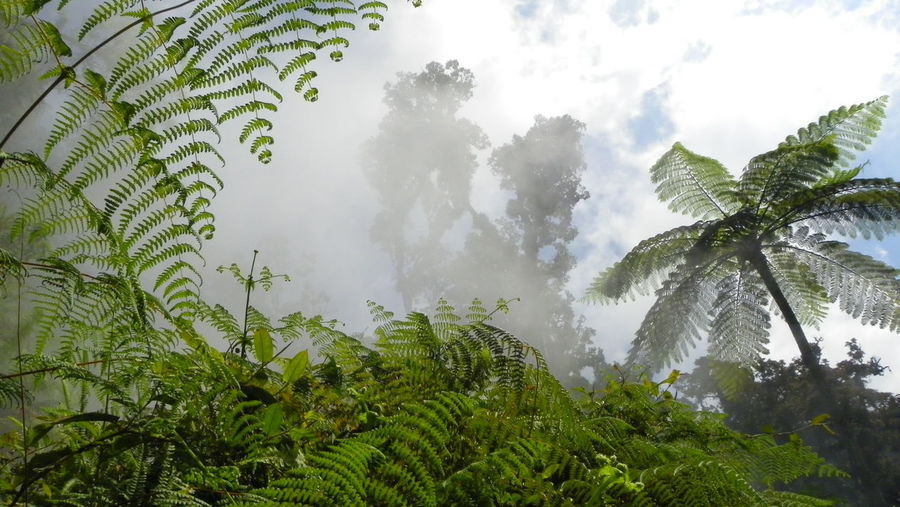 Landscape with green forest and tree ferns, Java, Indonesia Beauty In Nature Biology Cyatheales Day Fog Green Color Growth INDONESIA Jurassic Jurassic Forest Jurassic Landscape Jurassic World Leaf Natural Habitat Nature No People Outdoors Tree Tree Fern Vapor Vegetation