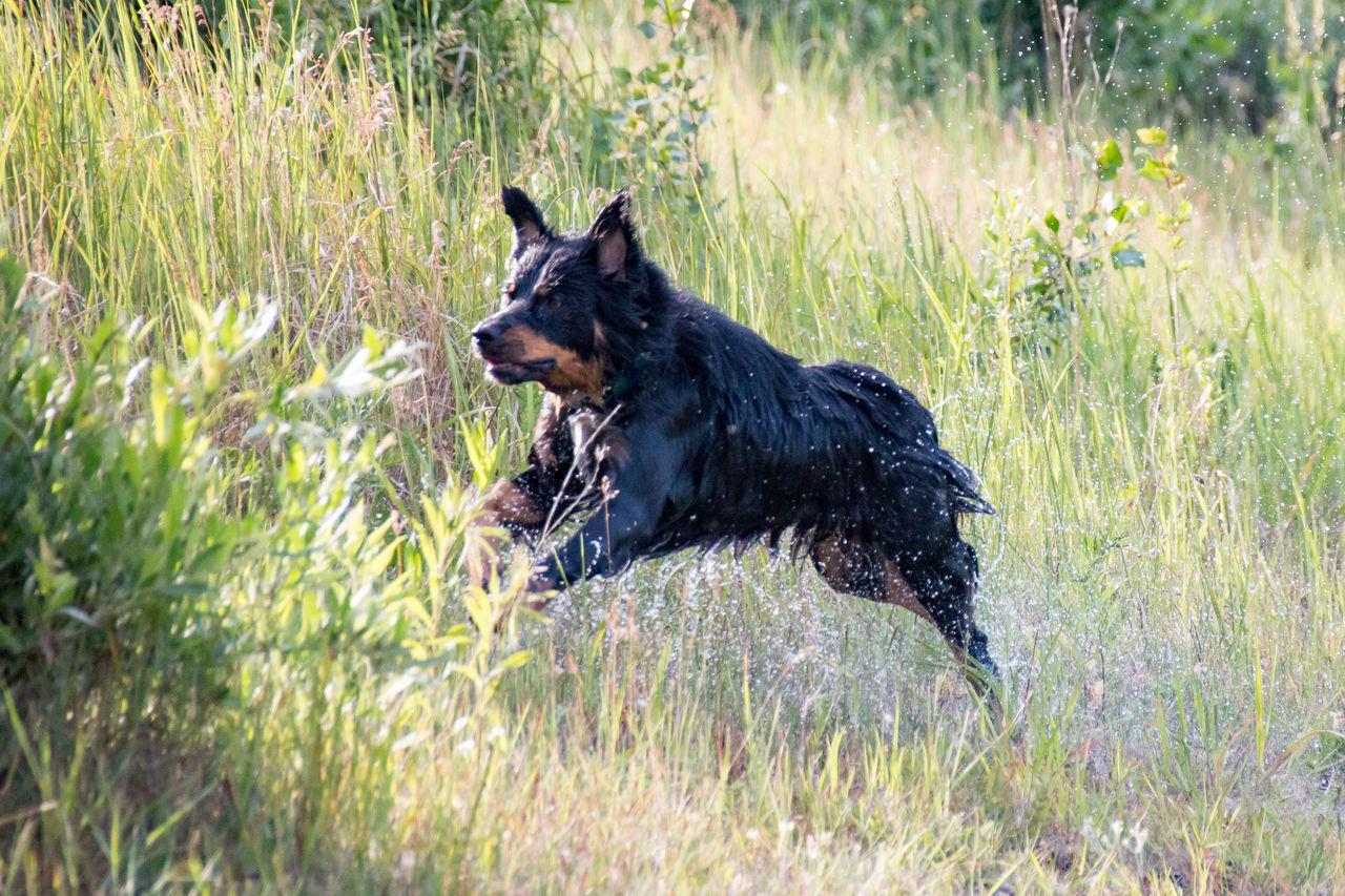 dog, grass, pets, german shepherd, animal, purebred dog, one animal, outdoors, domestic animals, day, animal themes, friendship, nature, mammal, no people