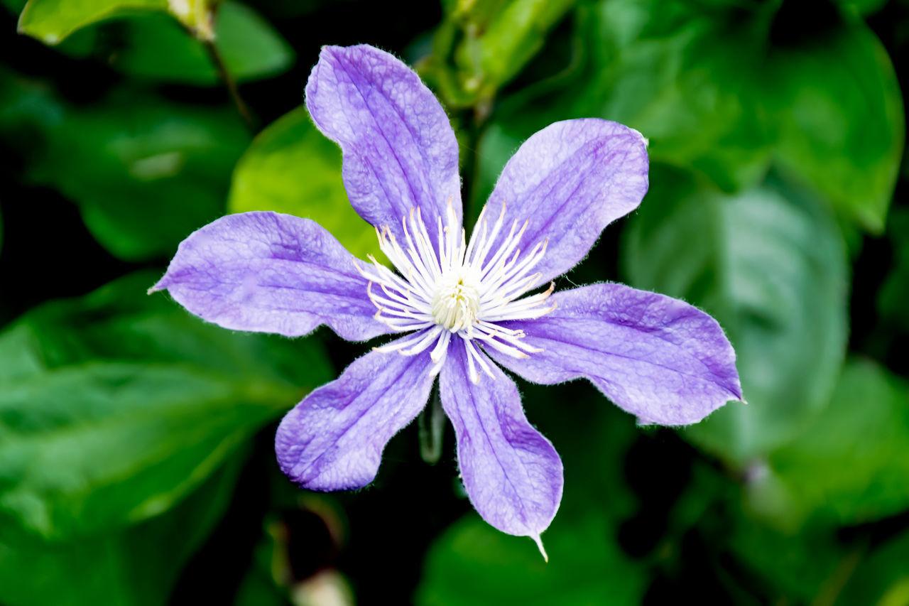 Clematis Clematis Flower Purple Purple Clematis And Dark Green Leaves Purple Flower Summer Flowers
