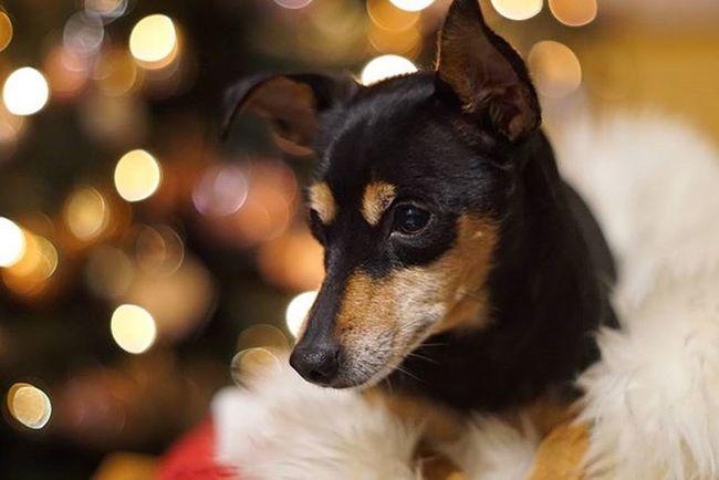 Pinscher Pinschertedesco Minipin Miniaturepinscher Puppy Christmas MerryChristmas Dog Happy Loveyou Love Pincher Minipincher Chiuaua Doglover Dogsofinstagram Dogoftheday