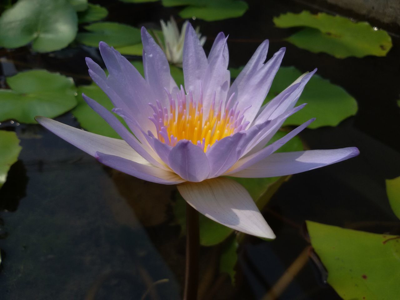 flower, petal, beauty in nature, nature, freshness, fragility, water, flower head, growth, water lily, plant, lotus water lily, outdoors, no people, blooming, lotus, day, floating on water, lily pad, lake, leaf, close-up
