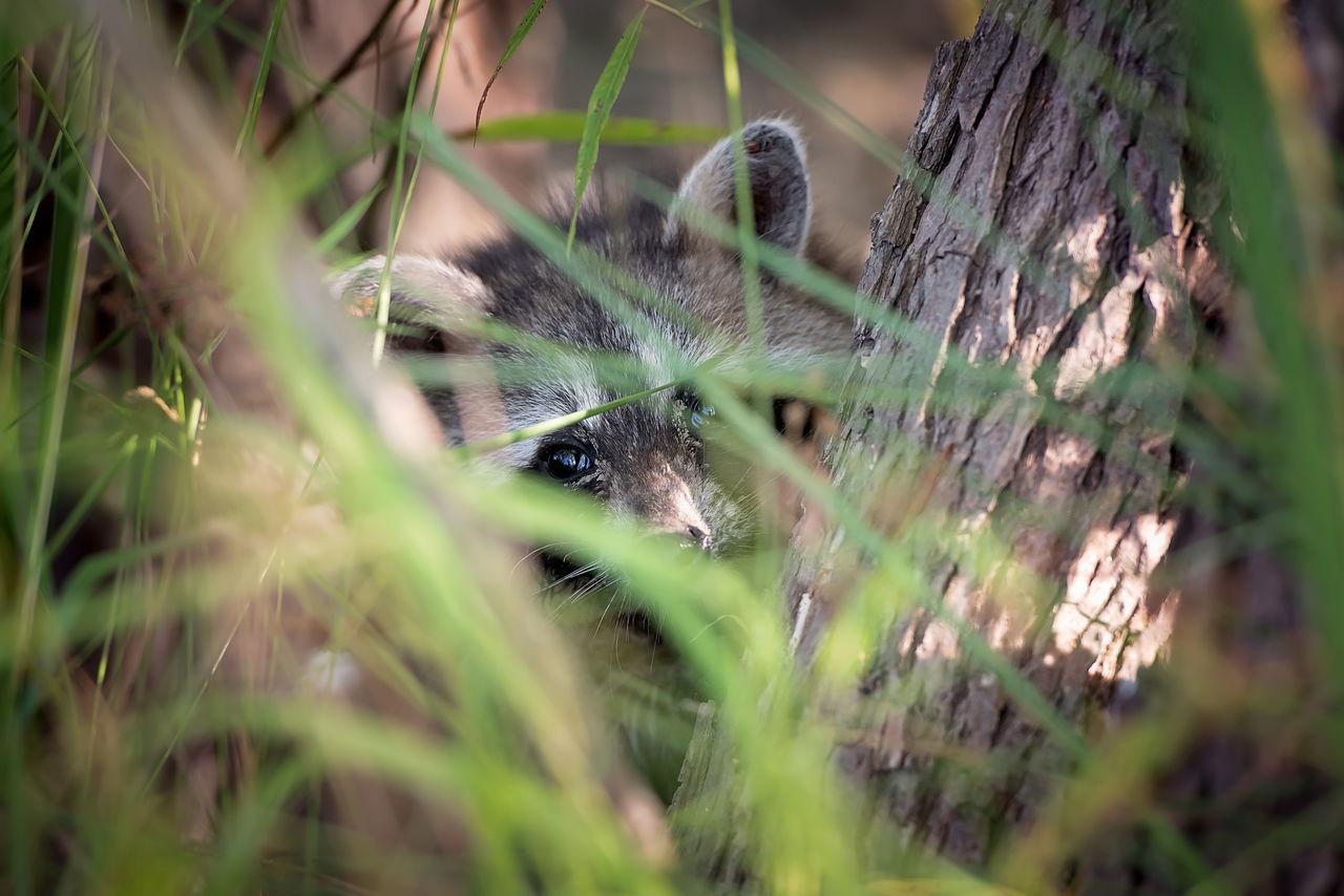 Young raccoon peeking through grasses Hiding Missouri Peeking Raccoon Wild Wildlife Wildlife & Nature Wildlife Photography
