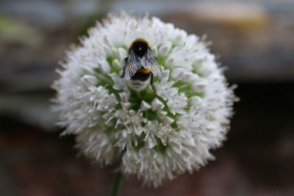 Bee Bees And Flowers Plant Nature EyeEm Best Shots - Nature Macro Macro Nature пчела шмель растение Природа макро макросъемка