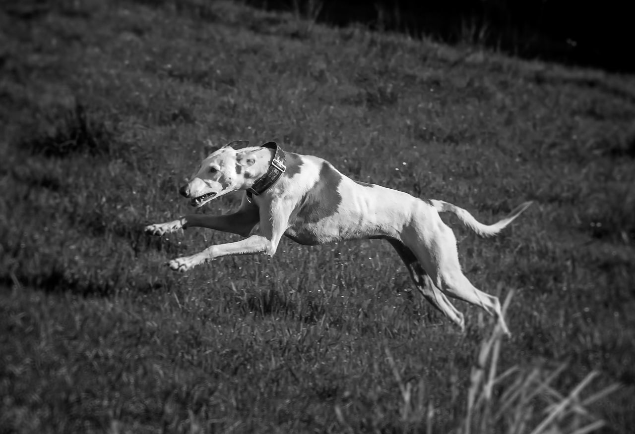 Action Animal Dog Fashion Ibizan Hound Photography Podenco Ibicenco Speed