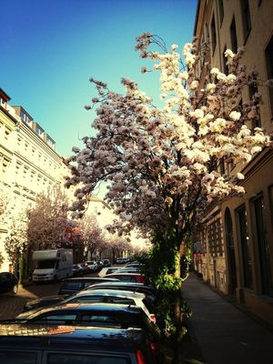 hanami in Berlin by shillinberlin