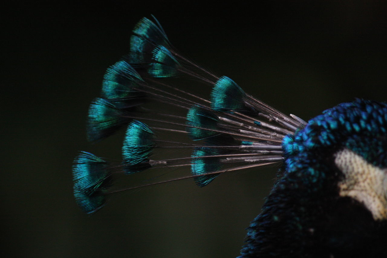 Cropped Image Of Peacock Outdoors