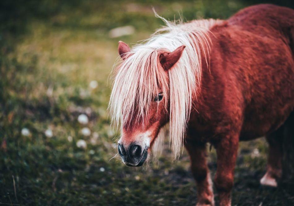 Beautiful stock photos of pony, Animal Hair, Animal Themes, Brown, Day