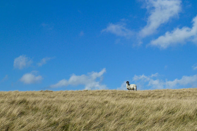 sheep standing on a grassy hill against a blue sky Blue Cloud Cloud - Sky Clouds And Sky Grass Grassy Hill Horizon Over Land Landscape Mammal Outdoors Rural Scene Sheep Statue Sky Sky_collection