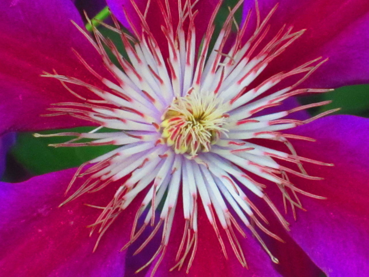 Flower Freshness Fragility Flower Head Petal Growth Beauty In Nature Close-up Pink Color Nature Detail Extreme Close-up Single Flower Plant Macro Blossom Springtime In Bloom Focus On Foreground Pollen Fireworks Display Clematis Clematis Flower Perennial Spring Spring Flowers