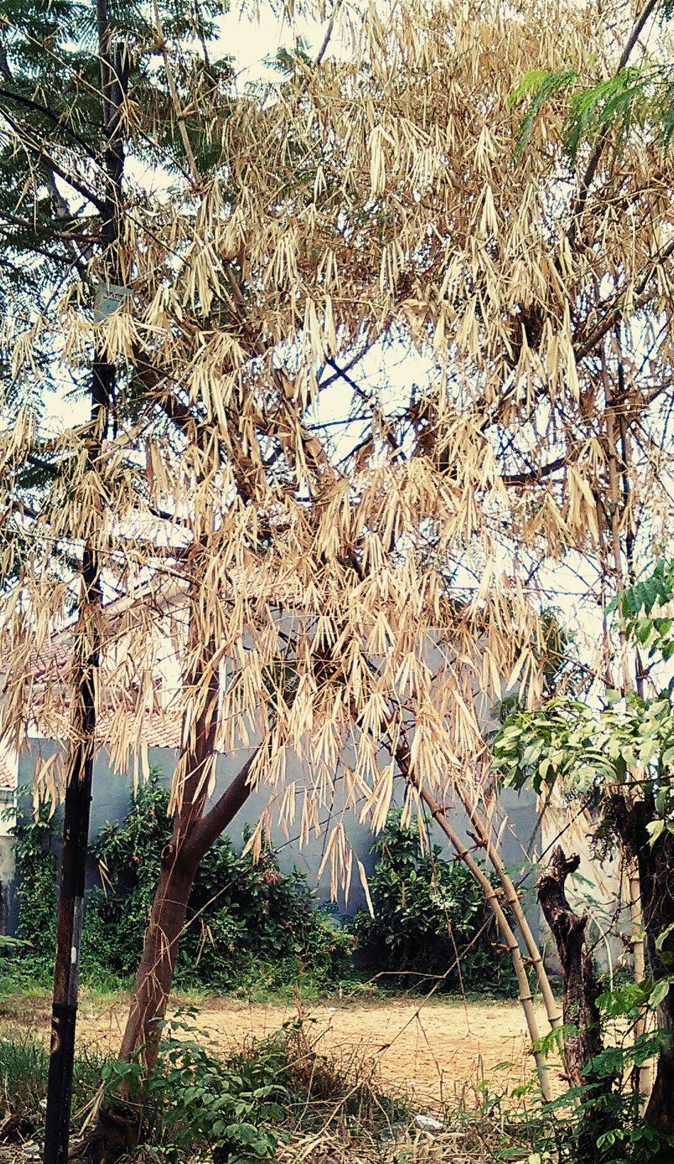 Bamboo Plants And Flowers ...meranggas krn kemarau.