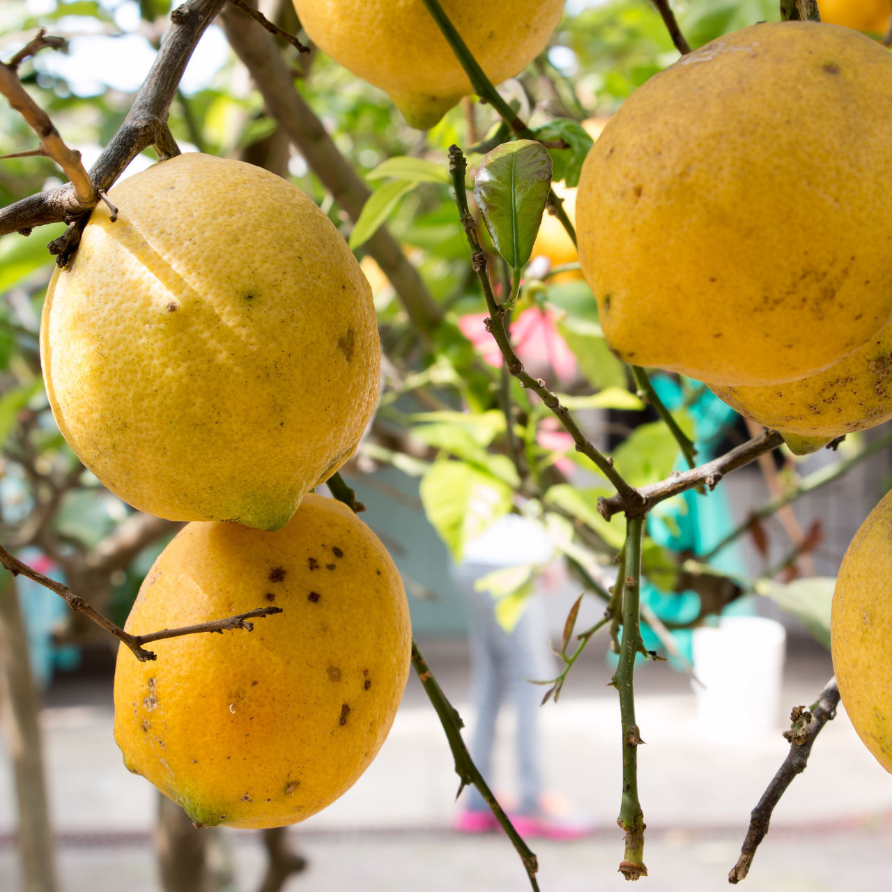 Agriculture Branch Citrus Fruit Close-up Day Food Food And Drink Freshness Fruit Fruit Tree Grapefruit Growth Healthy Eating Healthy Lifestyle Juicy Lemon Lemon Tree Nature No People Outdoors Sour Taste Tree Vitamin Yellow