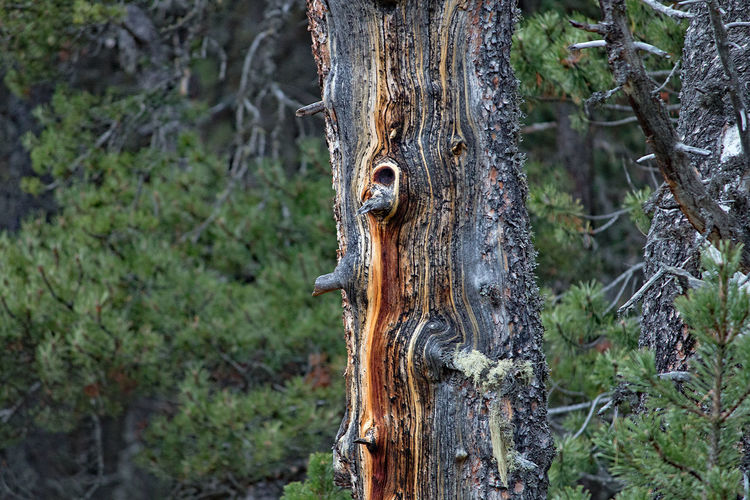 alter Baum Animal Themes Animals In The Wild Antler Bark Beauty In Nature Close-up Day Focus On Foreground Forest Growth Knotted Wood Leopard Mammal Nature No People Outdoors Tranquility Tree Tree Trunk Wood - Material Woodpecker