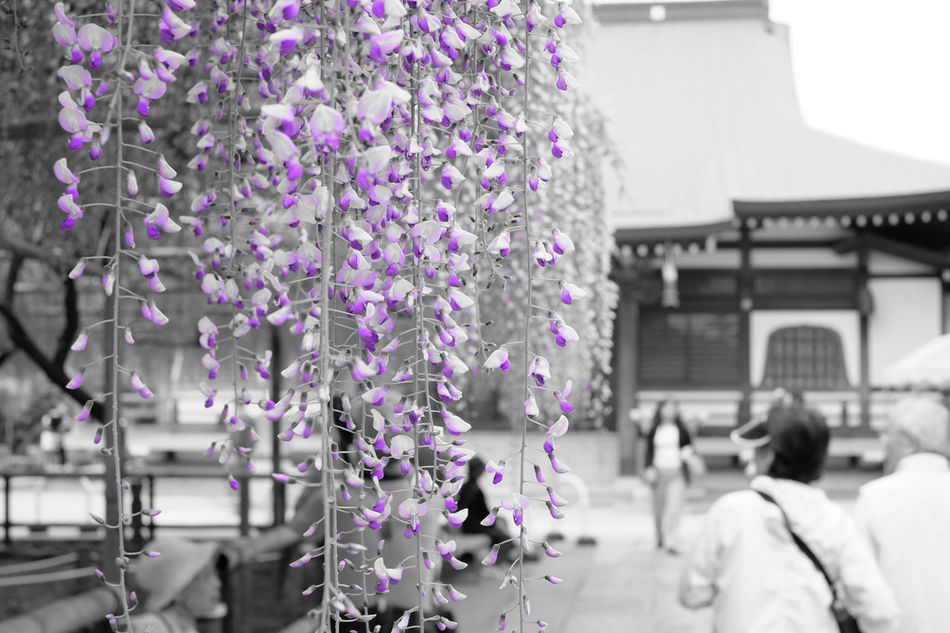市川市高圓寺(2015年。今年はあと1週間くらい先になりそう) Blooming Close-up Flower Focus On Foreground Fragility Freshness Fujifilm Fujifilm X-E2 Fujifilm_xseries In Bloom Japan Japan Photography Petal Pink Color Plant Purple Selective Focus Xf35mm パートカラー 市川 市川市 高圓寺