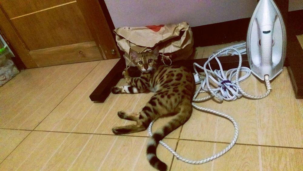 My playful Taliyah Bengal Cat Partnersincrime First Eyeem Photo