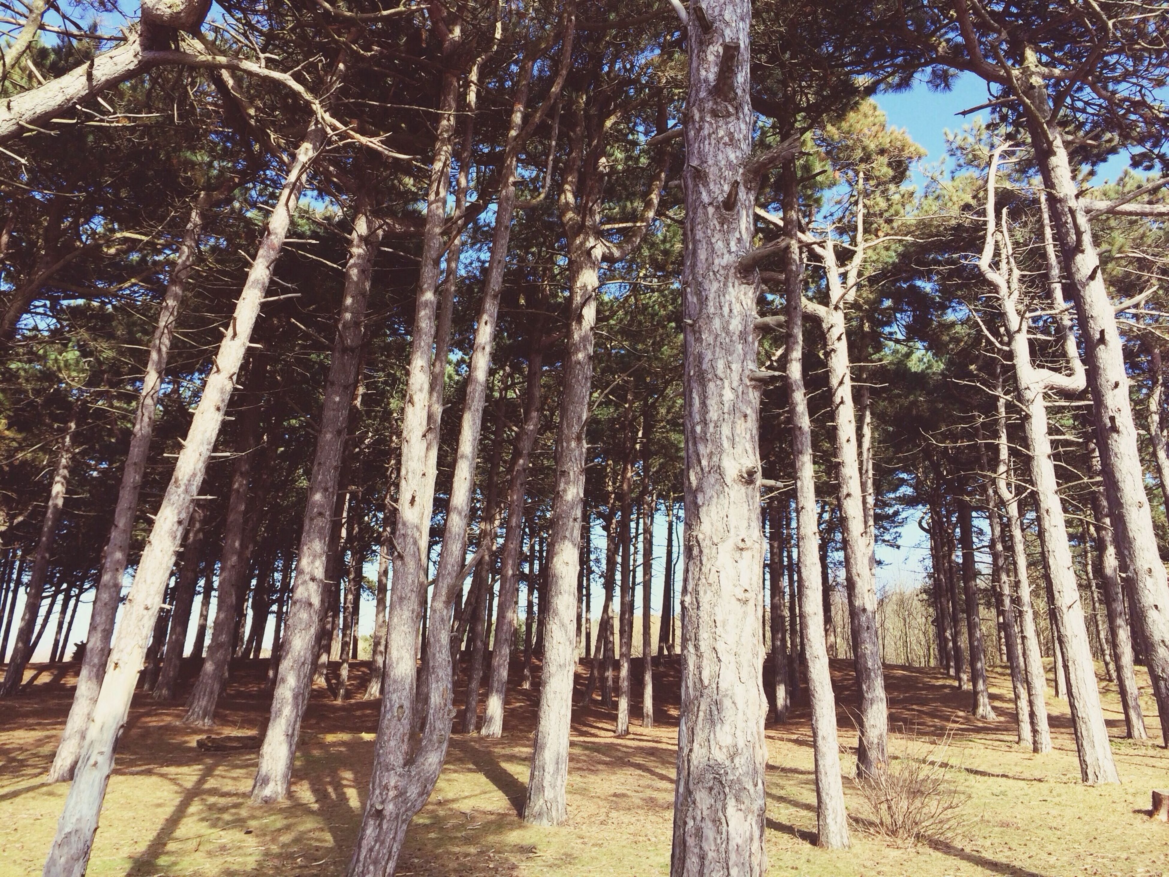 tree, tree trunk, growth, tranquility, woodland, forest, nature, low angle view, tranquil scene, beauty in nature, day, sunlight, outdoors, scenics, tall - high, abundance, non-urban scene, branch, no people, landscape