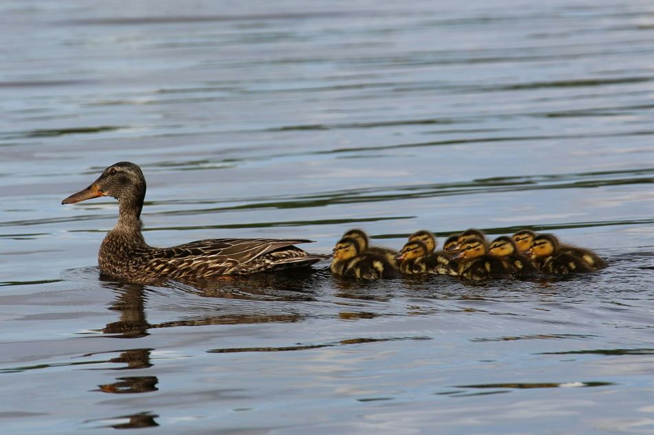 Family Of Ducks Mother Duck Mother Duck With Ducklings Baby Ducks Ducklings Lake Of The Woods Explore Manitoba