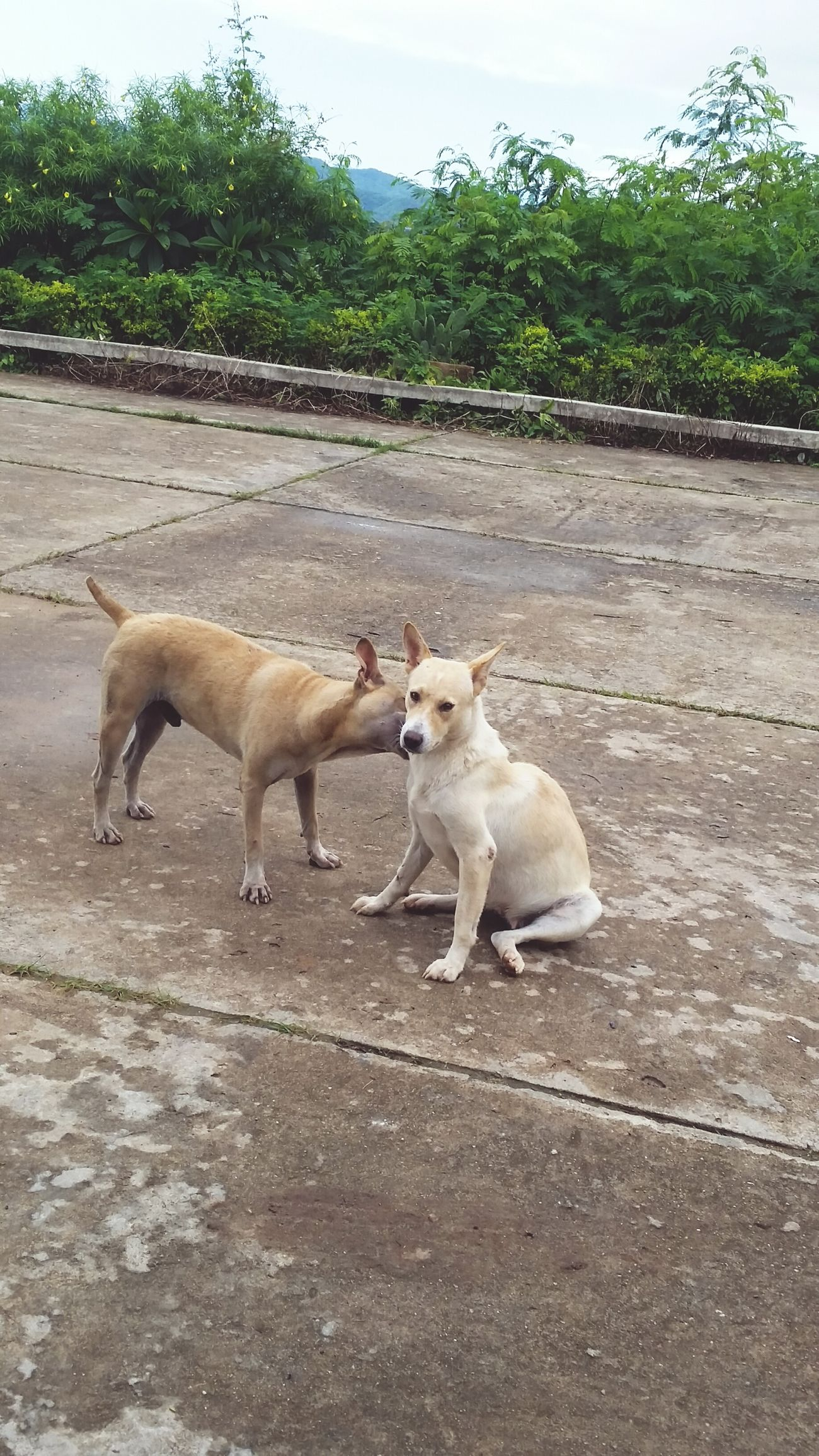 Templedogs หมาวัด Chiang Rai, Thailand Chiangrai LoveOneAnother