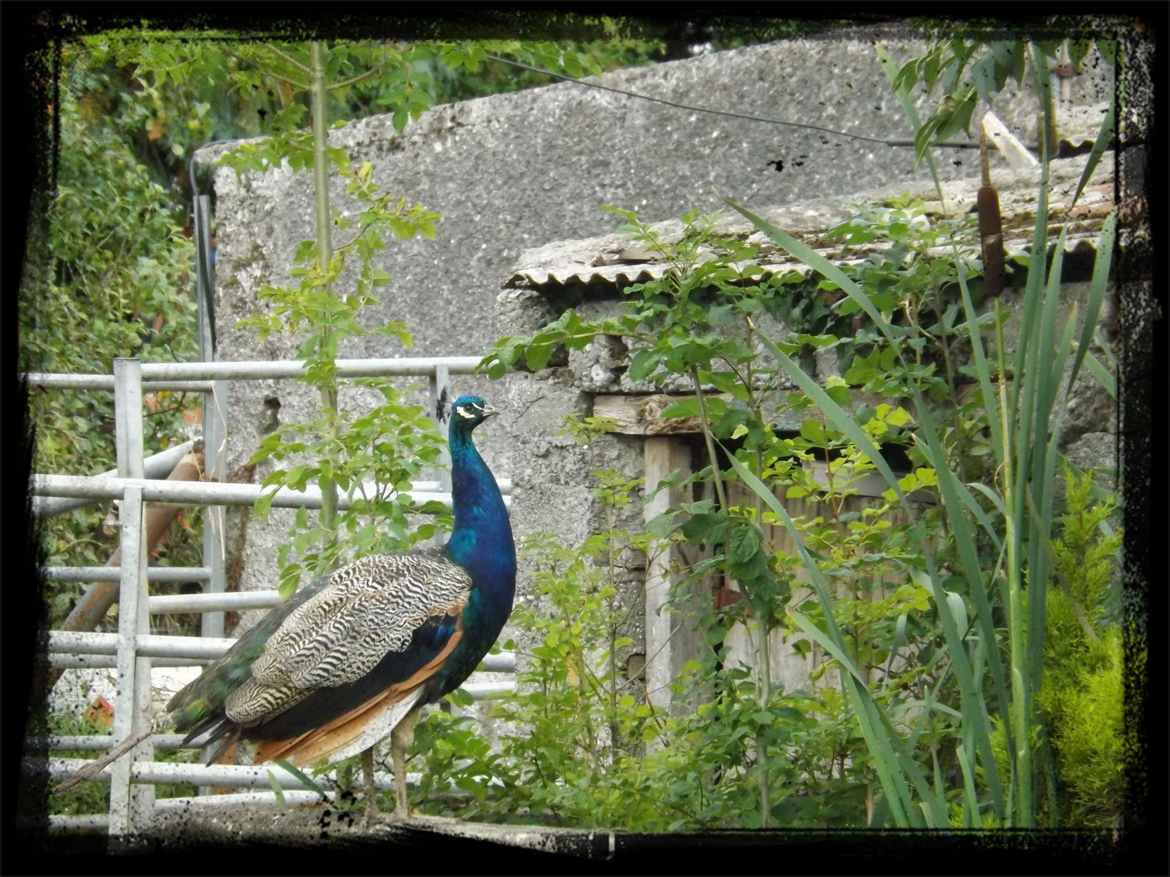 animal themes, animals in the wild, wildlife, one animal, bird, transfer print, auto post production filter, plant, perching, nature, grass, side view, outdoors, day, full length, no people, fence, wood - material, green color, close-up