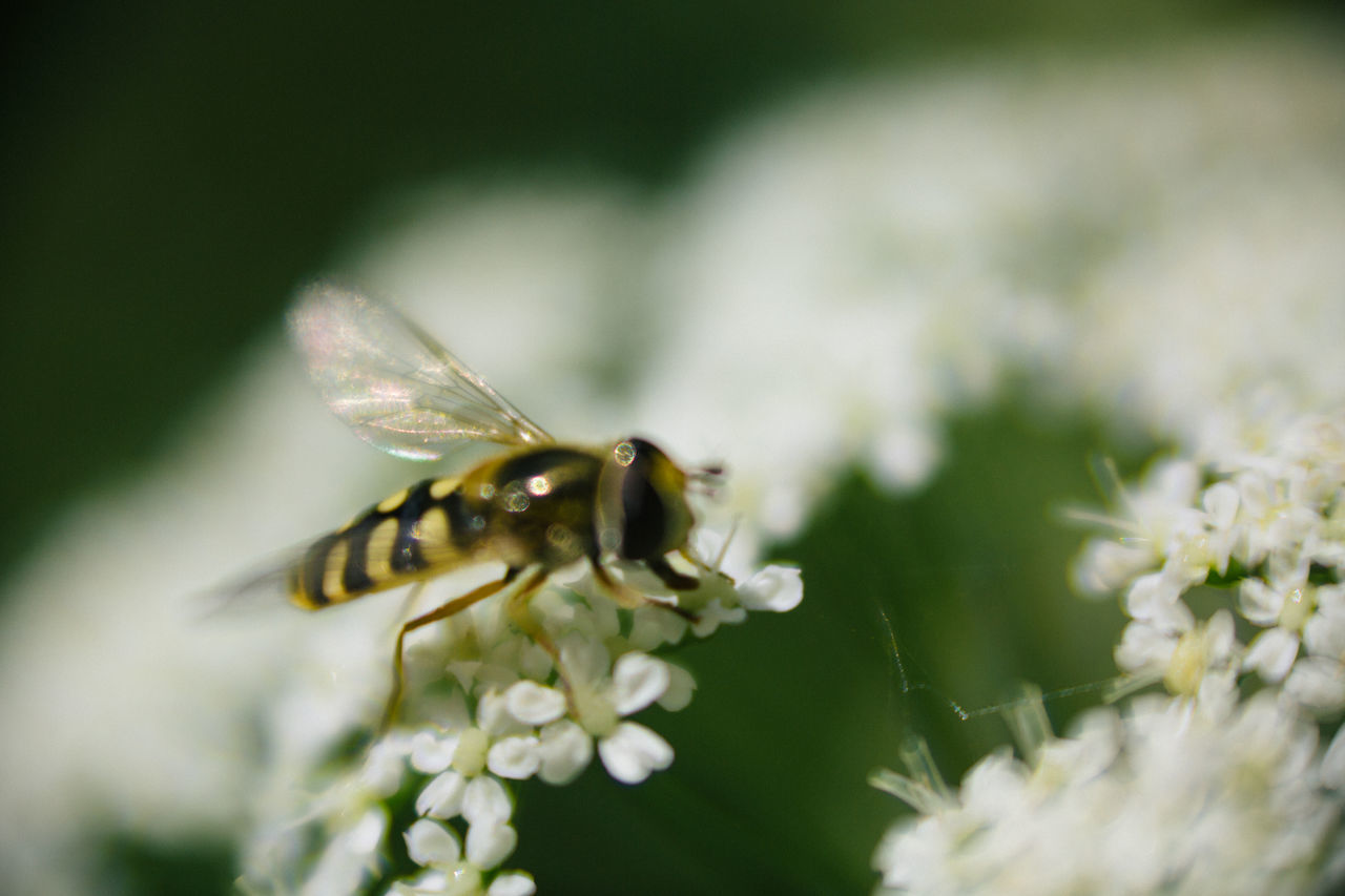 insect, one animal, animals in the wild, animal themes, flower, nature, fragility, animal wildlife, beauty in nature, close-up, no people, day, outdoors, petal, growth, freshness, plant, pollination, bee, flower head