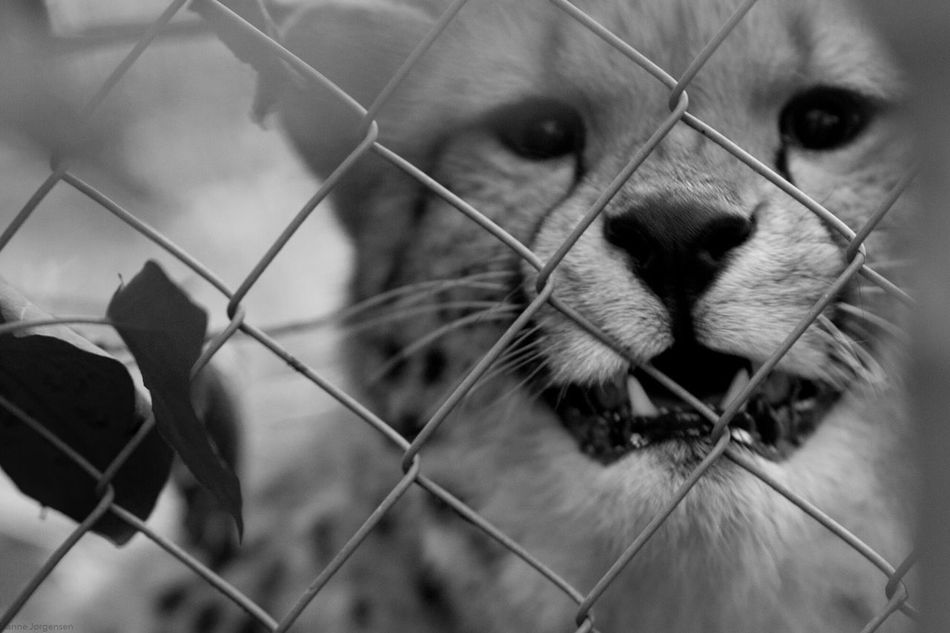 Cheetah Close-up One Animal Outdoors Day My Year My View Canon600D Black & White Beauty In Nature Ree Park Vild Animal Behindthefence