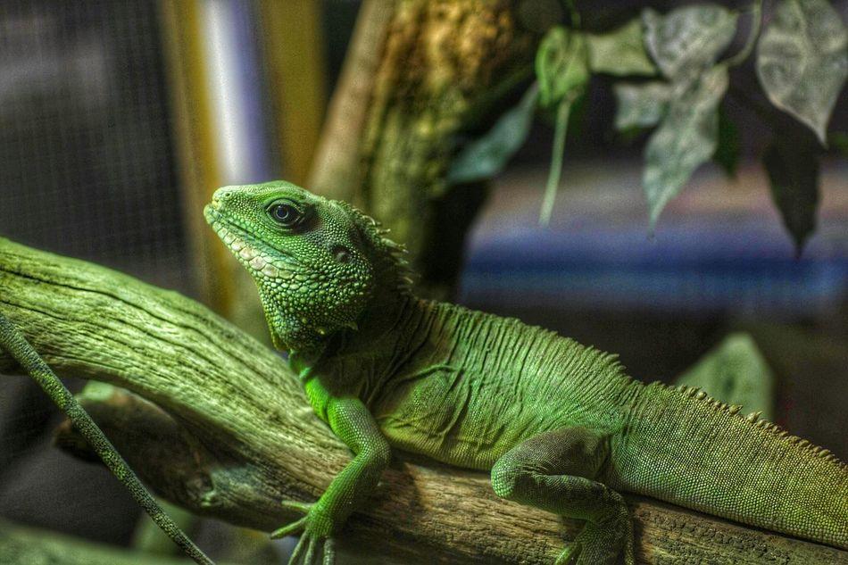 Lizard Eyeem Lizards Green Green Green!  Reptile!!