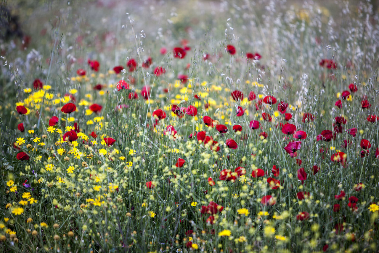 Beauty In Nature Blooming Colors Day Flower Flower Head Fragility Freshness Greece Nature Nature_collection No People Plant Poppies  Poppy Red Spring Springtime Yellow