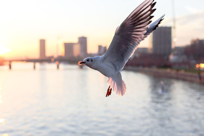 FFMÖWE / No. 0499 Bird City Day Envision The Future Flying Focus On Foreground Frankfurt Frankfurt Am Main Main Mid-air Motion Möwe Nature Nature Nature_collection No People Outdoors Seagull Selective Focus Sky Spread Wings The Great Outdoors - 2016 EyeEm Awards TheGreatOutdoors Visit Germany