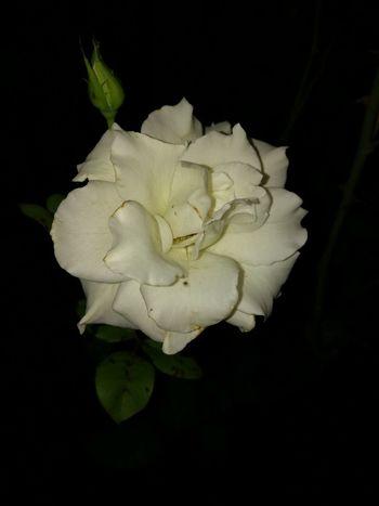 White Rose In The Dark
