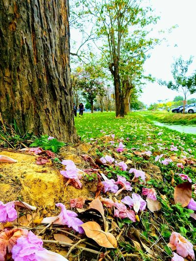 Tree Growth Day Flower Outdoors Nature Grass Multi Colored Beauty In Nature Fragility No People Freshness Sky Tree Trunk Landscape EyeEm Best Edits EyeEmBestPics Highlights Travelling Thailand EyeEm Best Shots Taking Photos Low Angle View Scenics Beauty In Nature Sakura Fallen Leaves
