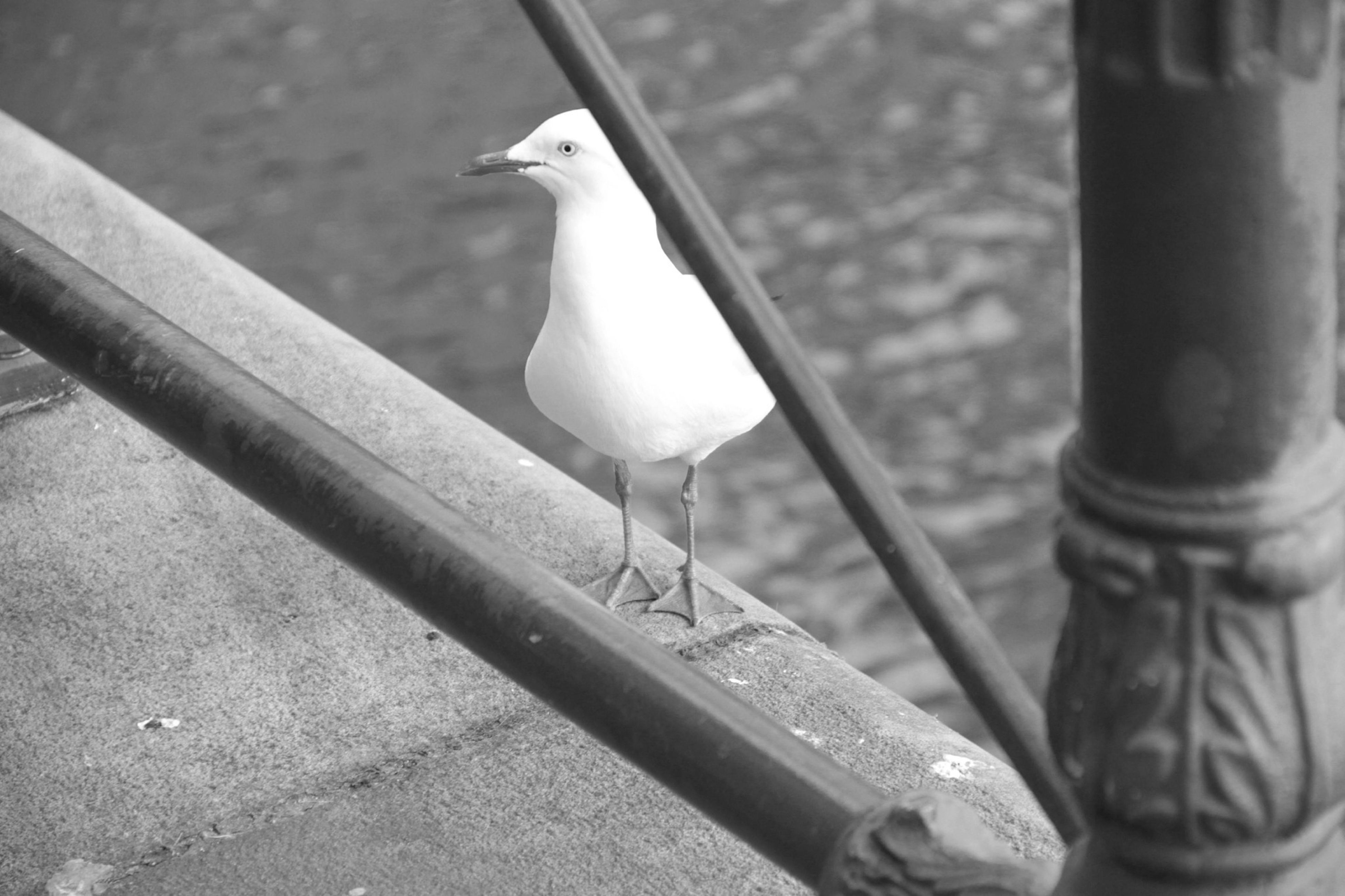bird, animal themes, animals in the wild, wildlife, one animal, perching, seagull, pigeon, railing, focus on foreground, full length, metal, outdoors, day, close-up, beak, avian, spread wings, two animals, zoology