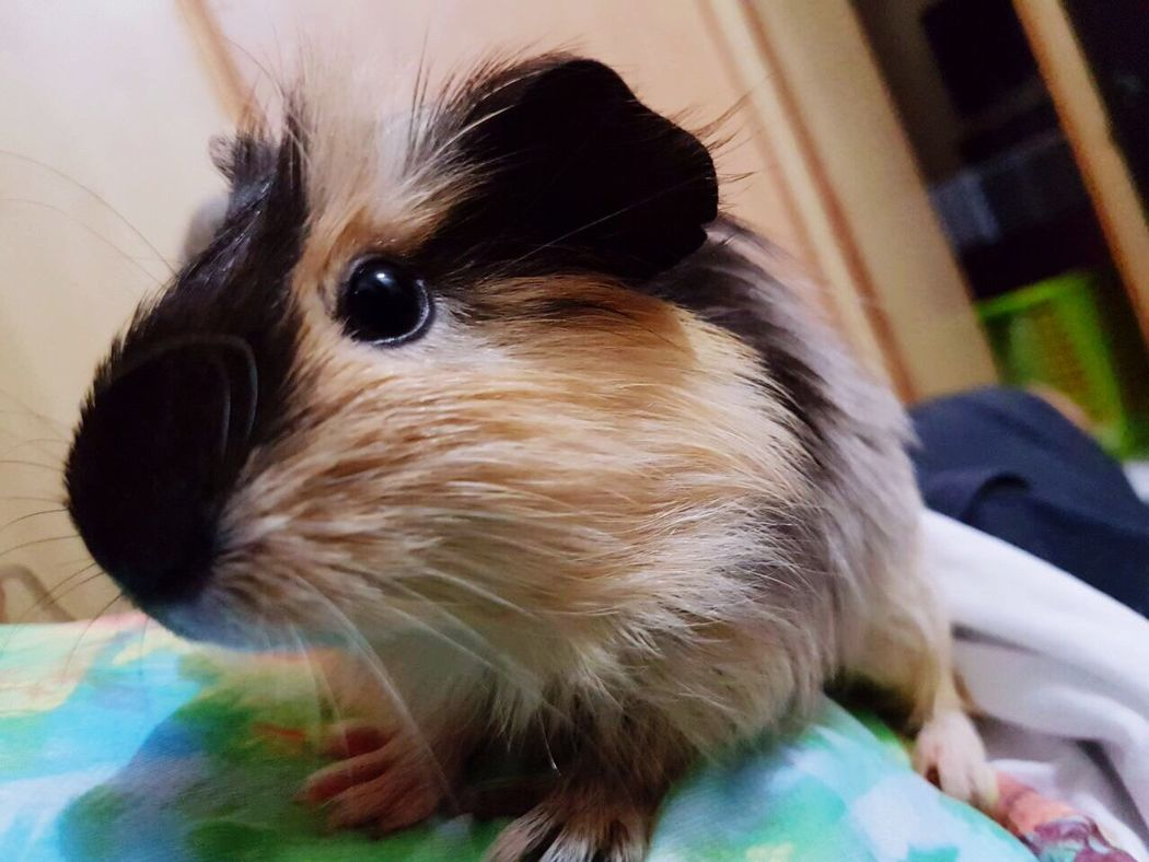 Pets Guinea Pig Playmate Loveanimals❤️