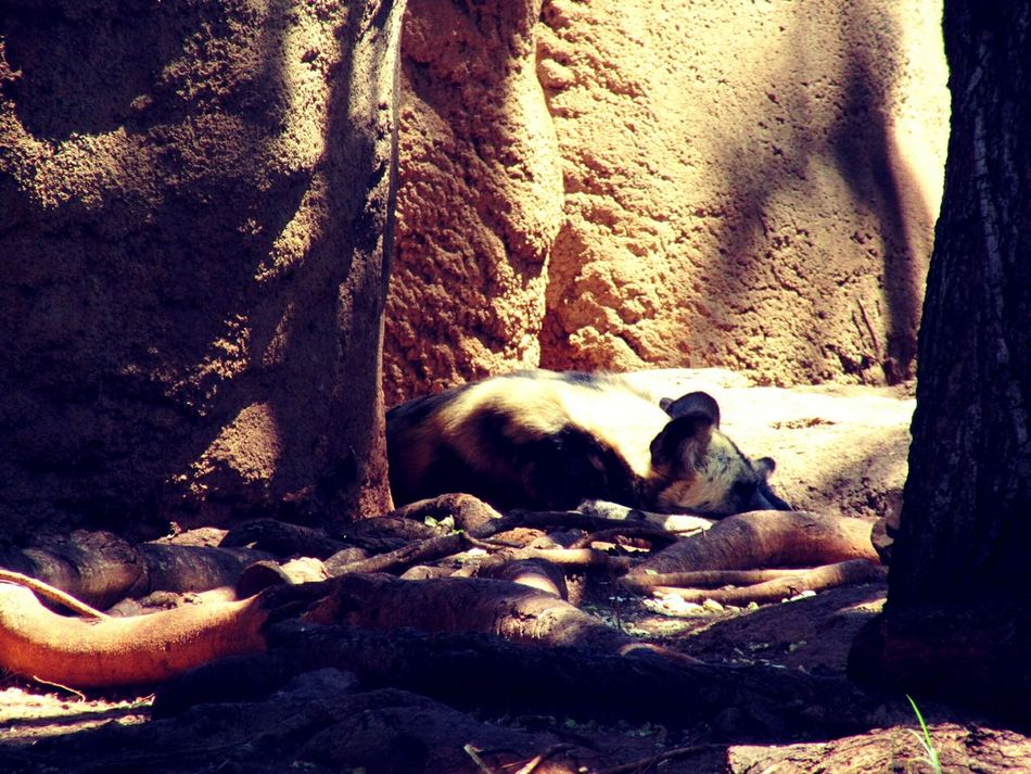 Animal Themes No People Nature Zoo Animals  African Wild Dog Endangered Species Endangered Animals
