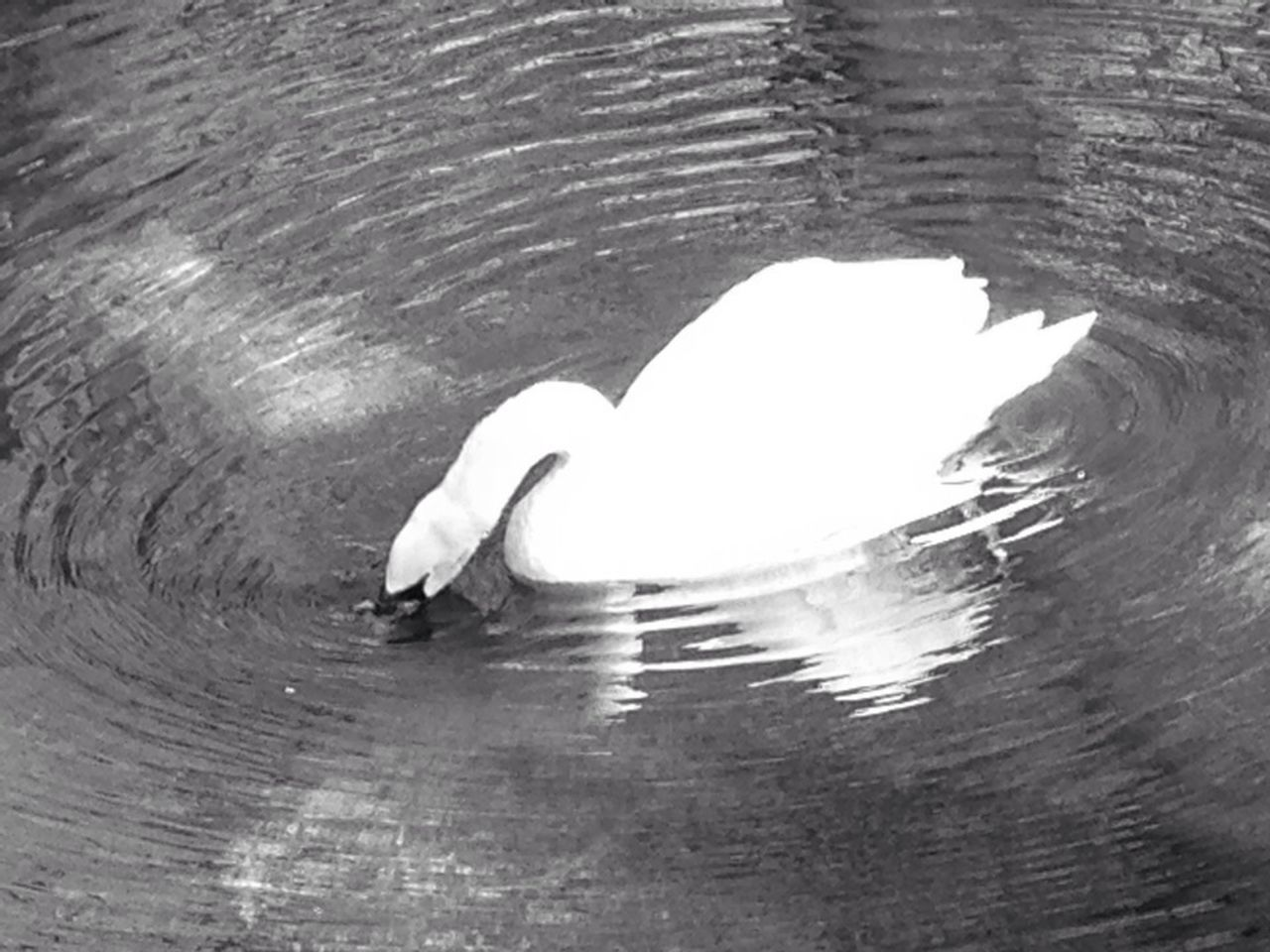animal themes, bird, animals in the wild, one animal, water, wildlife, swan, lake, white color, waterfront, swimming, water bird, rippled, white, zoology, beak, nature, reflection, floating on water, water surface, tranquility, day, animal, beauty in nature, avian, outdoors, mute swan, no people, animal behavior